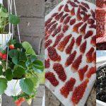 5 Langkah Mudah Buat Benih Strawberry Sendiri & Tanam Di Balkoni Rumah