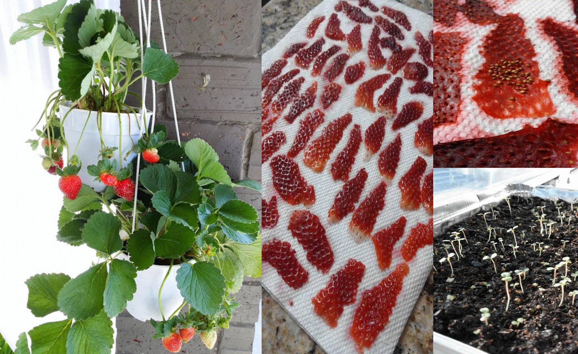 Cara menanam strawberry agar cepat berbuah di rumah