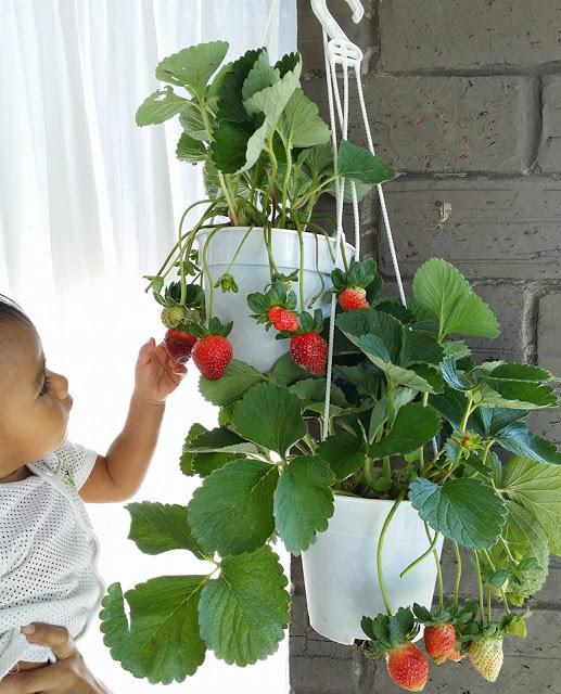 View In Gallery Tanam Sendiri Pokok Strawberi Di Balkoni Rumah